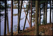 Pine trees, Woodenfrog. Voyageurs National Park, Minnesota, USA. (color)