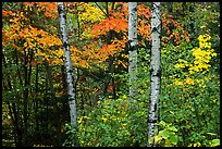 Trees in fall foliage. Voyageurs National Park, Minnesota, USA. (color)