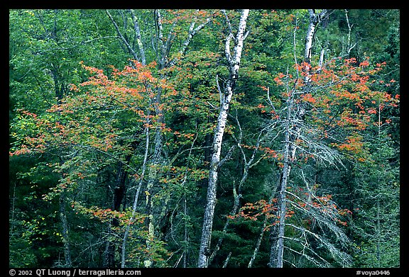Trees in early fall color. Voyageurs National Park (color)