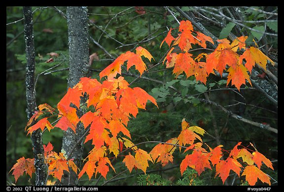 Maple leaves. Voyageurs National Park (color)
