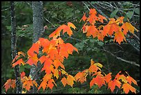 Maple leaves in autumn. Voyageurs National Park, Minnesota, USA.