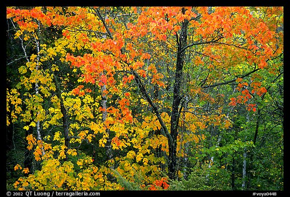 Trees in autumn foliage. Voyageurs National Park (color)
