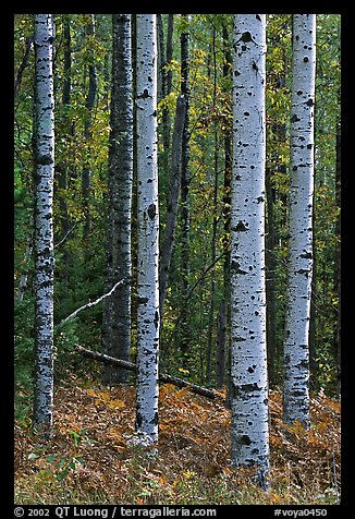 Birch tree trunks in autumn. Voyageurs National Park (color)