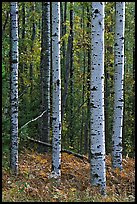 Birch tree trunks. Voyageurs National Park, Minnesota, USA. (color)