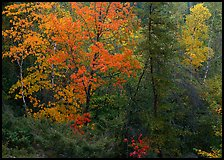 Mixed trees in fall color. Voyageurs National Park ( color)