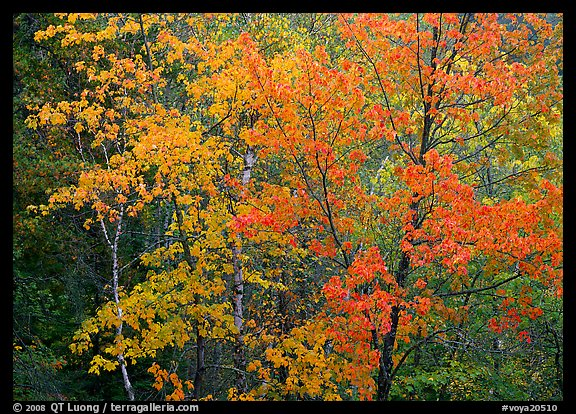 Yellow and orange leaves on trees. Voyageurs National Park (color)
