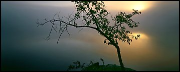 Tree on foggy lakeshore with sun behind. Voyageurs National Park (Panoramic color)