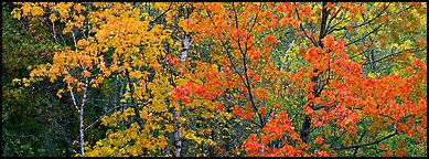 Mosaic of trees with colorful leaves in autumn. Voyageurs National Park (Panoramic color)