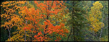 Mixed tree forest in the fall. Voyageurs National Park (Panoramic color)