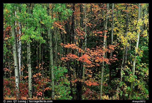 Mixed forest in autumn. Voyageurs National Park (color)
