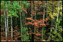 Mixed forest in autumn. Voyageurs National Park ( color)