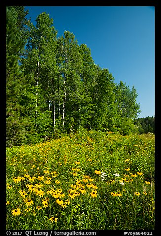 Summer wildflowers and trees, Ash River. Voyageurs National Park (color)