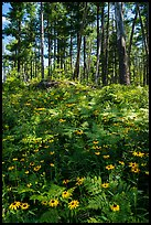 Sunflowers and forest. Voyageurs National Park ( color)