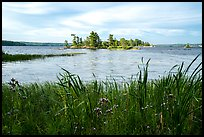 Wildflowers, and islet, Houseboat Island, Sand Point Lake. Voyageurs National Park ( color)