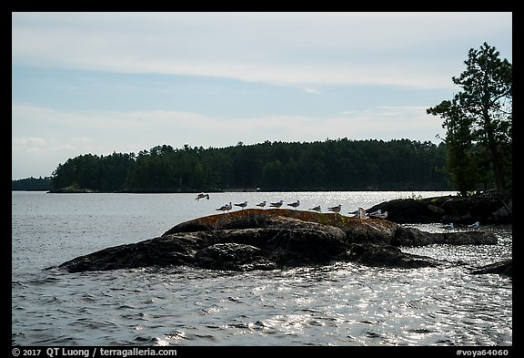 Seagulls perched on rock, Namakan Lake. Voyageurs National Park (color)