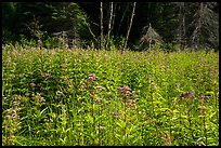 Wildflowers in meadow near Mica Bay. Voyageurs National Park ( color)