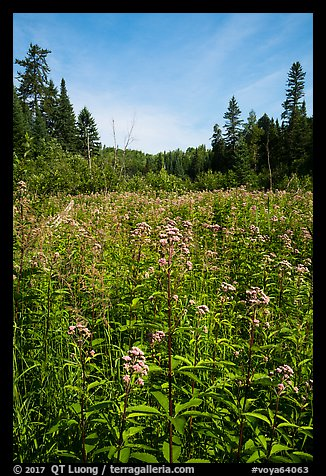 Meadow with summer wildflowers. Voyageurs National Park (color)