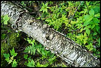 Fallen Birch trunk and ferns. Voyageurs National Park ( color)