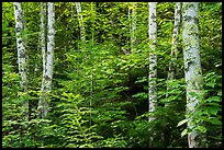 Birch trees in summer. Voyageurs National Park ( color)