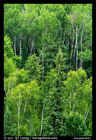 Birch trees in the summer. Voyageurs National Park (color)
