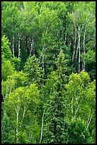 Birch trees in the summer. Voyageurs National Park ( color)