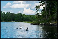 Loons, Namakan Lake. Voyageurs National Park ( color)