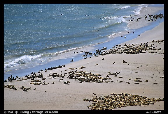Pinnipeds hauled out on  beach, Point Bennet, San Miguel Island. Channel Islands National Park (color)
