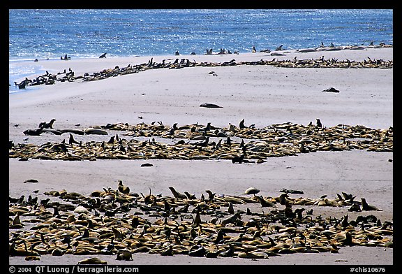 California sea lions and northern fur seals on  beach, Point Bennet, San Miguel Island. Channel Islands National Park (color)