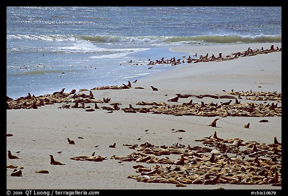Beach with a large number of sea lions and seals, Point Bennett, San Miguel Island. Channel Islands National Park (color)