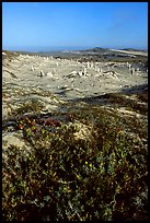 Flowers and caliche stumps, early morning, San Miguel Island. Channel Islands National Park ( color)