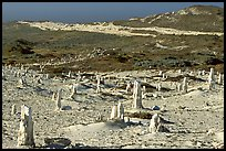Ghost forest formed by caliche sand castings of plant roots and trunks, San Miguel Island. Channel Islands National Park ( color)