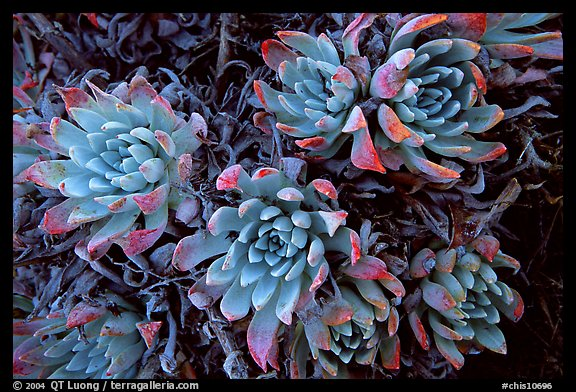 Live Forever (Dudleya) plants, San Miguel Island. Channel Islands National Park (color)