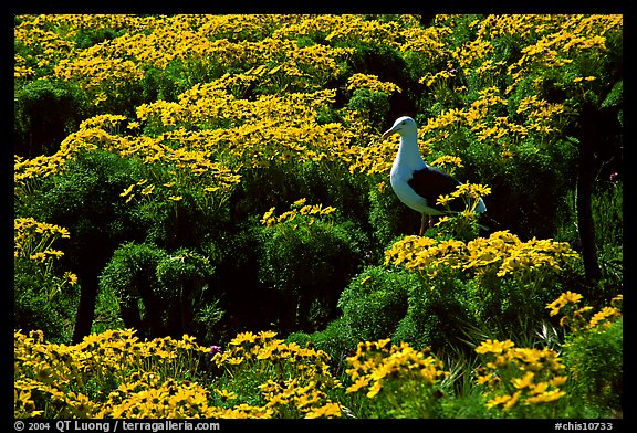 Western Seagull and Giant coreopsis in bloom, East Anacapa Island. Channel Islands National Park, California, USA.