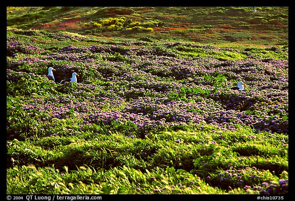 Seagulls and spring wildflowers, East Anacapa Island. Channel Islands National Park (color)