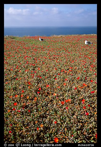 Iceplant flowers and seagulls, East Anacapa Island. Channel Islands National Park (color)