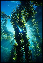Kelp bed with sunrays,  Annacapa Marine reserve. Channel Islands National Park, California, USA. (color)
