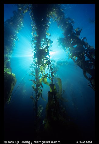Giant Kelp and sunbeams underwater, Annacapa Marine reserve. Channel Islands National Park (color)