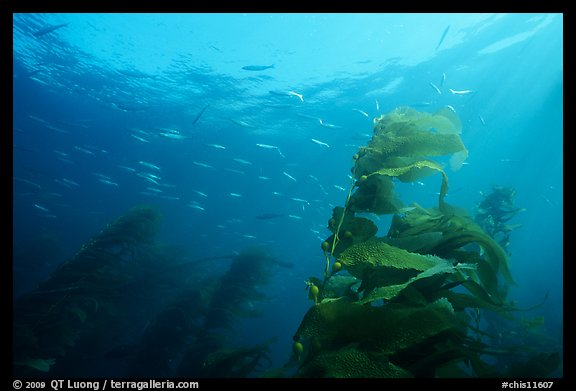Kelp fronds and fish, Annacapa Island State Marine reserve. Channel Islands National Park (color)