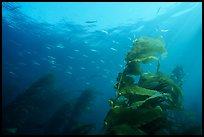 Kelp fronds and fish, Annacapa Island State Marine reserve. Channel Islands National Park, California, USA. (color)