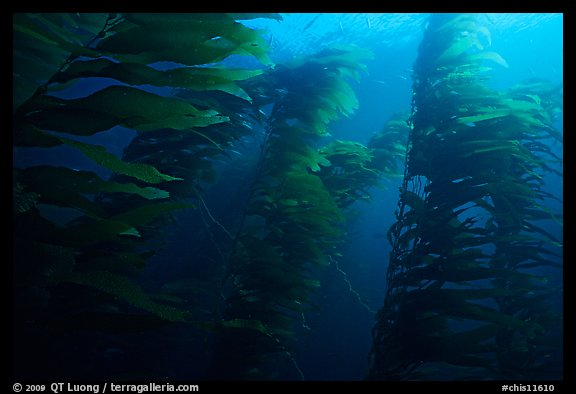 Kelp forest, Channel Islands National Marine Sanctuary. Channel Islands National Park (color)