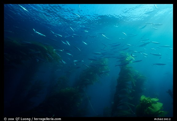 Jack mackerel school of fish in kelp forest. Channel Islands National Park (color)