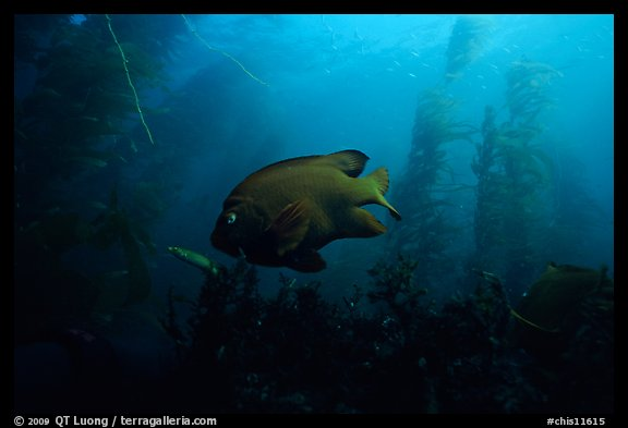 Garibaldi fish in kelp forest, Annacapa Marine reserve. Channel Islands National Park (color)