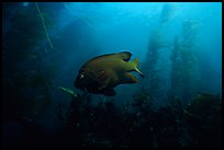 Garibaldi fish in kelp forest, Annacapa Marine reserve. Channel Islands National Park, California, USA. (color)