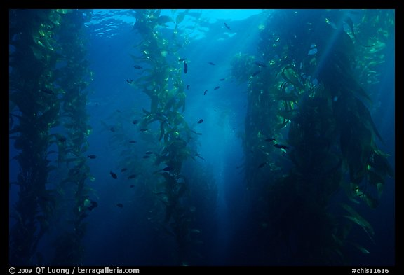 Giant Kelp underwater forest. Channel Islands National Park (color)