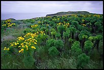 Giant Coreopsis and East Anacapa. Channel Islands National Park, California, USA. (color)