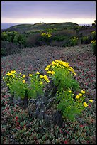 Giant Coreopsis and ice plant. Channel Islands National Park, California, USA. (color)