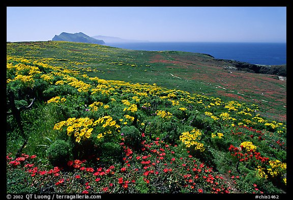 Giant Coreopsis, wildflowers, and Anacapa islands. Channel Islands National Park (color)