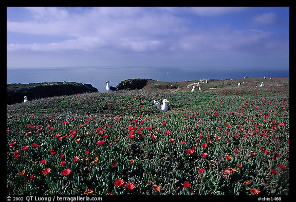 Ice plants and western seagulls, Anacapa. Channel Islands National Park (color)