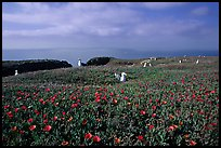 Ice plants and western seagulls, Anacapa. Channel Islands National Park, California, USA. (color)