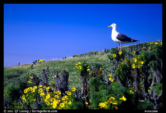 Western seagull on giant coreopsis. Channel Islands National Park (color)